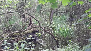 Erlenbruchwald (Grefrath)